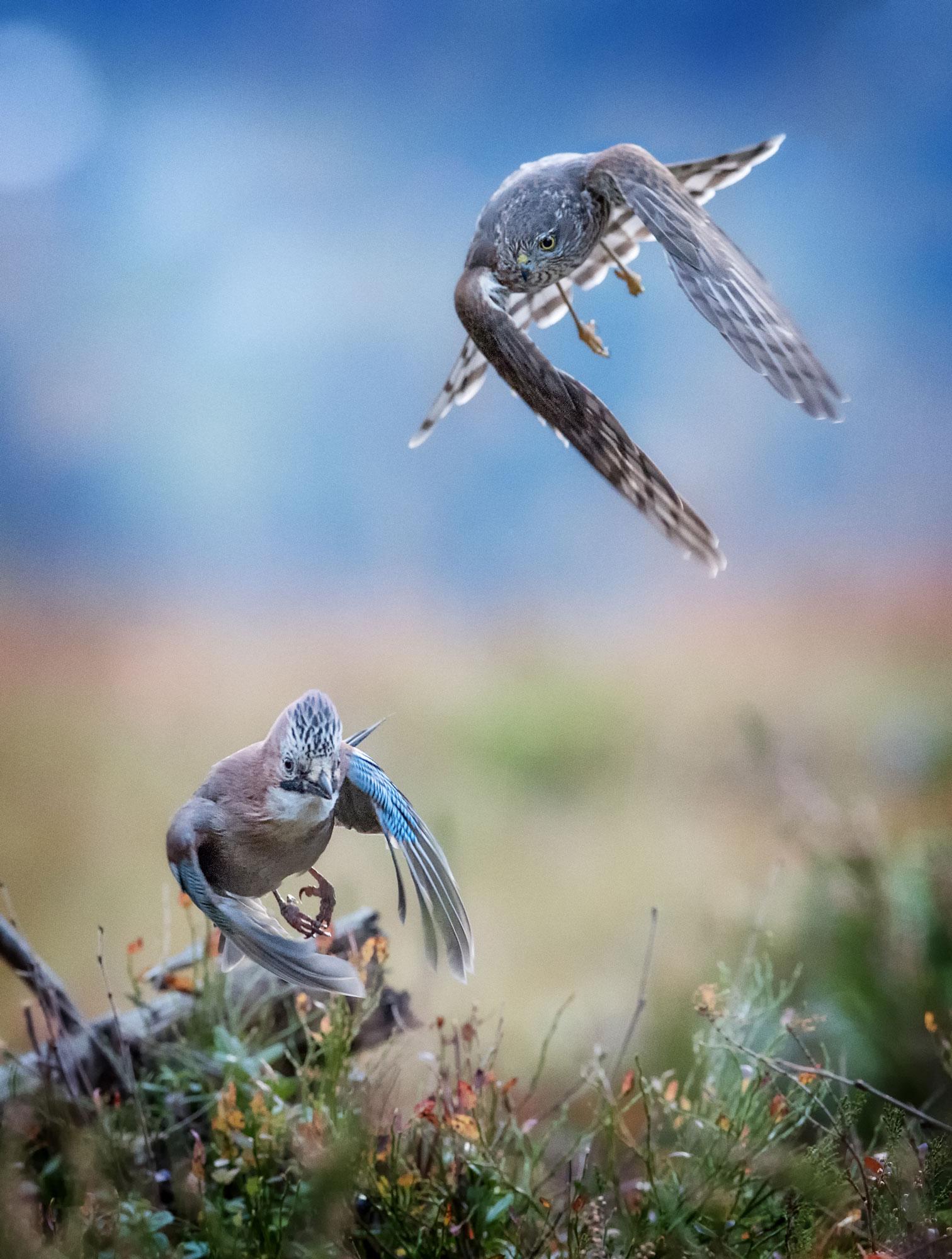 Hauk jakter nøtteskrike