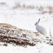 Hare, Søndre Land