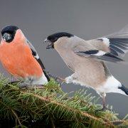 Dompap hann og hunn