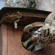 KATTUGLE: Kattuglen er en av de som setter pris på fuglekassene ved Dokkadeltaet. Kanskje kan du få se den i sommer? Foto Anne Gri Stenbråten Henriksen